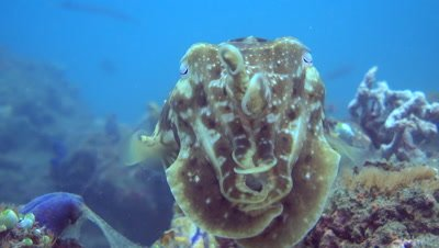 Broadclub cuttlefish (Sepia latimanus) with 2 tentacles up, close up