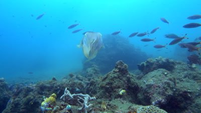 Broadclub cuttlefish (Sepia latimanus) changing color with glimpse of the mouth