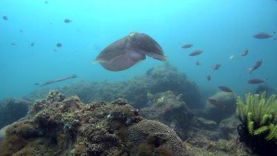 Broadclub cuttlefish (Sepia latimanus) changing color and swimming