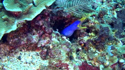 Ribbon eel (Rhinomuraena quaesita) blue and yellow