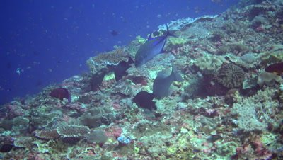 Bluefin trevally (Caranx melampygus) along with longface emperor (Lethrinus olivaceus) over hard coral reef