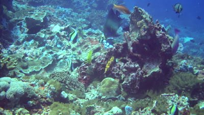 Mix of angelfishes, triggerfishes, moorish idol and pufferfish together