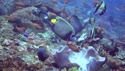 Mix of angelfishes, triggerfishes, butterflyfishes, wrasses and moorish idol together