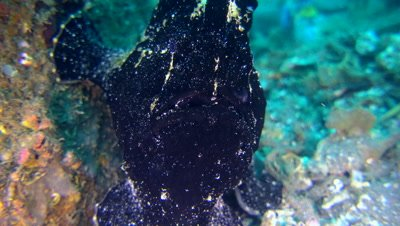 Giant frogfish (Antennarius commerson) black, close up, starting swimming