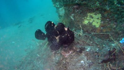 Giant frogfish (Antennarius commerson) black, swimming over rubbish