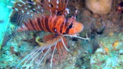 Spotfin lionfish (Pterois antennata)