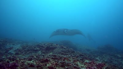 Giant manta ray (Manta birostris) with broken cephalic fin