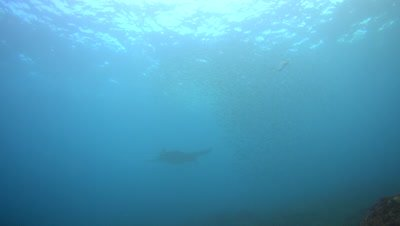 School of fishes chased by trevallies and manta ray (Manta blevirostris)