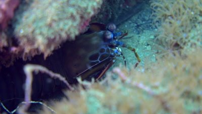 Harlequin smashing mantis shrimp (Odontodactylus scyllarus), close up