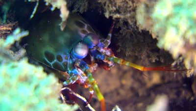 Harlequin smashing mantis shrimp (Odontodactylus scyllarus), close up head