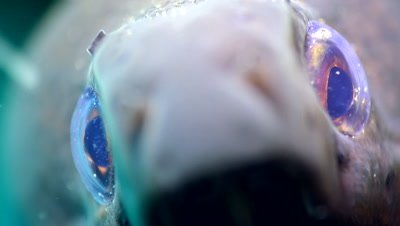 Giant moray (Gymnothorax javanicus), very close up eye