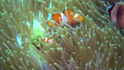 False clown anemonefish or nemo (Amphiprion ocellaris) in its anemone