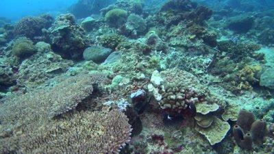 Devil or Humpback scorpionfish (Scorpaenopsis diabolus) crawling on top of coral