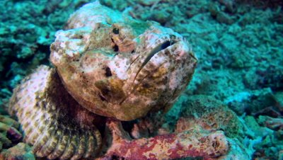 Devil or Humpback scorpionfish (Scorpaenopsis diabolus), close up mouth