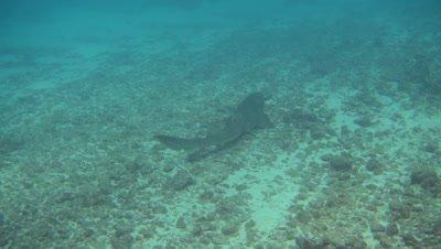 Tawny nurse shark (Nebrius ferrugineus) laying and starting swimming