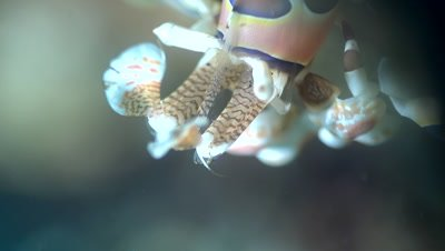 Harlequin shrimp (Hymenocera elegans), close up head