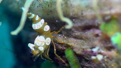 Squat anemone shrimp (Thor amboinensis) on tube anemone, close up