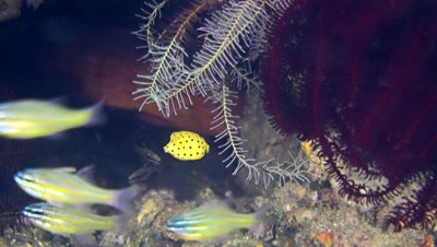Tiny juvenile yellow boxfish (Ostracion cubicus) hiding among feather stars