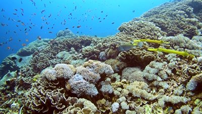 Yellow boxfish (Ostracion cubicus) followed by 2 yellow trumpetfish (Aulostomus chinensis) swimming over healthy coral reef