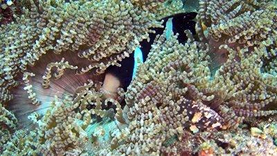 Clark anemone fish (Amphiprion clarkii) in beaded anemone (Heteractis aurora)