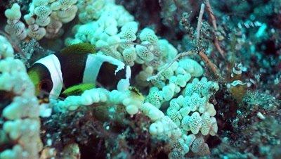 Young clark anemone fish (Amphiprion clarkii) in beaded anemone (Heteractis aurora)