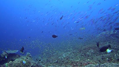 Massive cloud of fishes swimming over healthy reef with school of bluestreak fusilier (Pterocaesio tile)