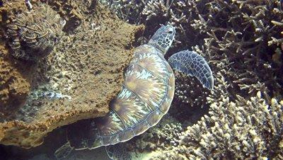 Green sea turtle (Chelonia mydas) between acropora coral and giant sponge