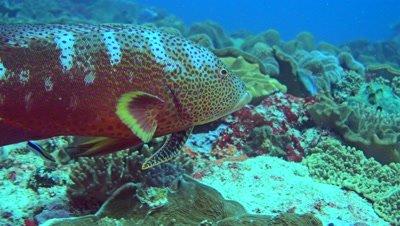 Yellow-edge lyretail (Variola louti) eating moray eel through its gills