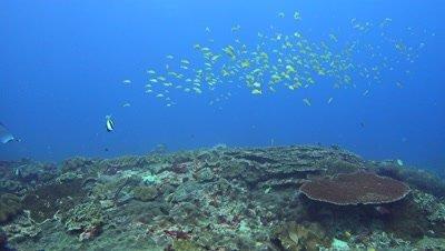 Manta ray (Manta blevirostris) swimming through school of blue-lined snapper (Lutjanus kasmira)