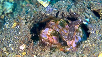 Spearing mantis shrimp (Lysiosquillina maculata) in its hole