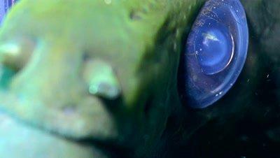 Giant moray (Gymnothorax javanicus), close up on eye