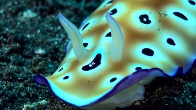 Chromodoris leopardus nudibranch from head to gills