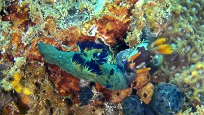 Tambja morosa and nembrotha rutilans nudibranch kissing
