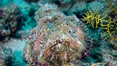 Scorpionfish from front