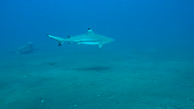Blacktip reef shark (Carcharhinus melanopterus) swimming over sand