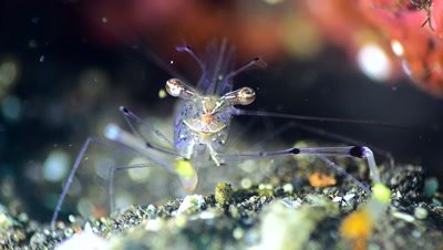 Ghost shrimp (Periclimenes tenuipes), close up head