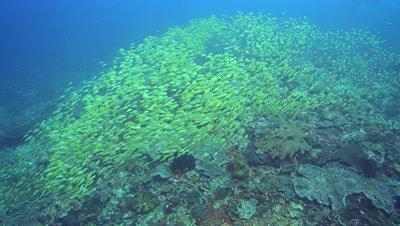 School of blue-lined snapper (Lutjanus kasmira) swimming over coral reef
