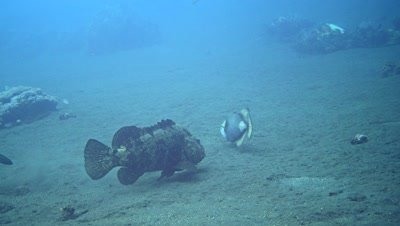 Titan triggerfish (Balistoides viridescens) swimming after brown-marbeled grouper (Epinephelus fuscoguttatus)
