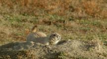 Black-Footed Prairie Dog Warning Call On Den