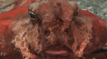 Head-On View Of Batfish Face