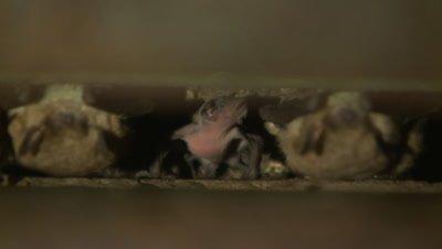 Brown bats roost in bridge