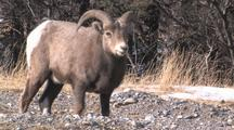 Young Male Bighorn Sheep Munching Grass In Mountain Meadow
