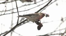 Common Redpoll Feeding On Leafless Winter Tree Seeds