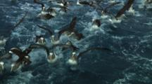 Group Of Salvin's Albatross (Thalassarche Salvini) Feeding Near The Bounty Islands