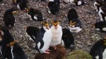 Two Royal Penguins (Eudyptes Schlegeli) Taking A Nap In The Colony On Macquarie Island
