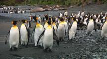 King Penguins (Aptenodytes Patagonicus) Walking On The Beach Of Macquarie Island