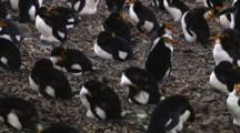 Royal Penguins (Eudyptes Schlegeli) Sleeping In A Colony On Macquarie Island