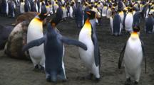 Two  King Penguins (Aptenodytes Patagonicus) Fighting Over A Mate On Macquarie Island