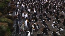 View Of The Edge Of A Colony Of Royal Penguins (Eudyptes Schlegeli) On Macquarie Island