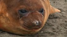 Young Elephant Seal (Mirounga Leonina) Resting On Macquarie Island